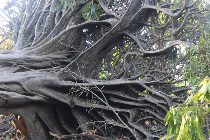 Exposed Root System of Upended Banyan Planted by Thomas Edison